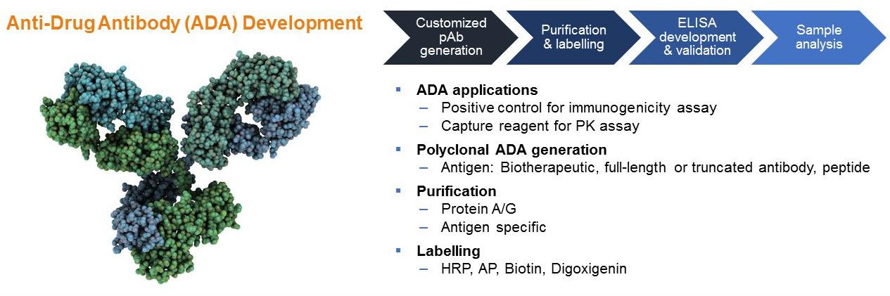 Anti-Drug Antibody (ADA) Development